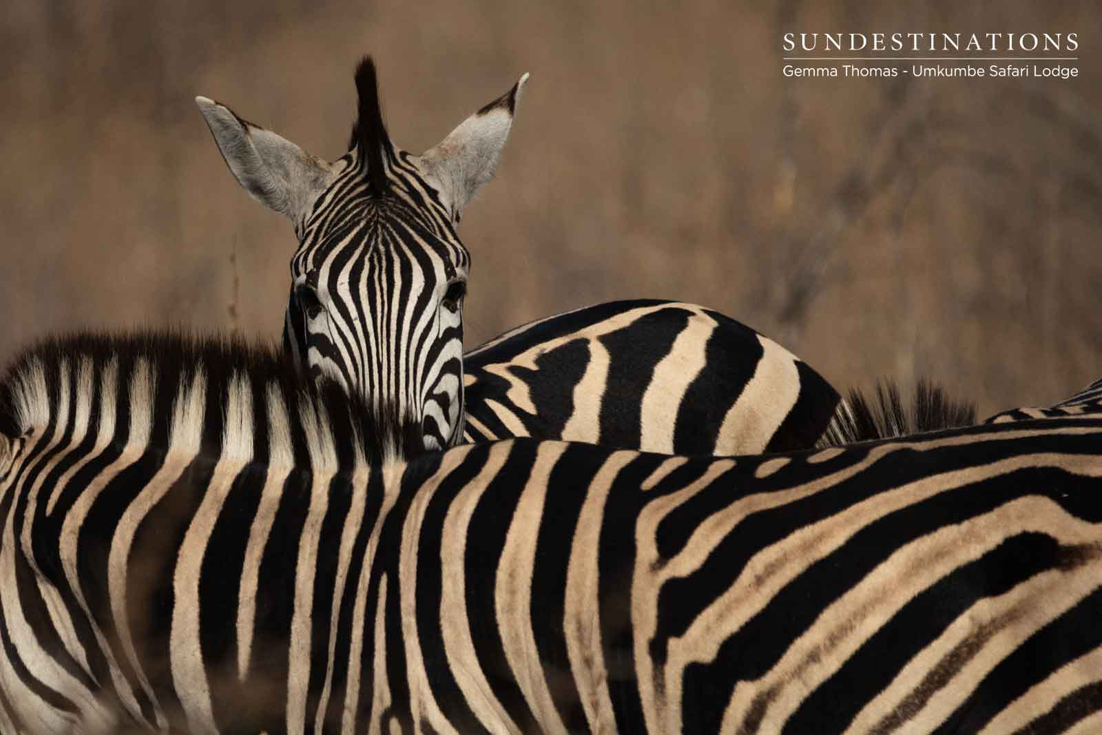 Zebra in the Sabi Sand