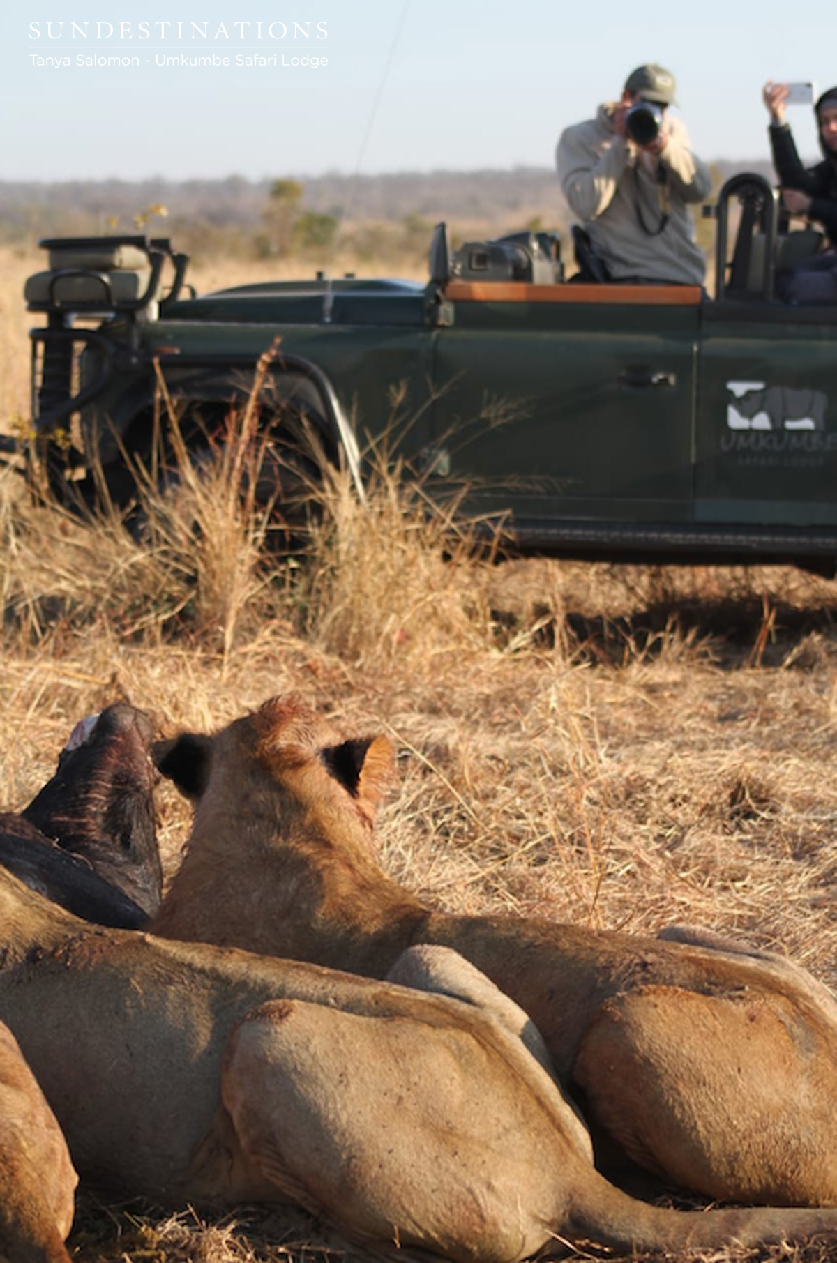Lions in Sabi Sand