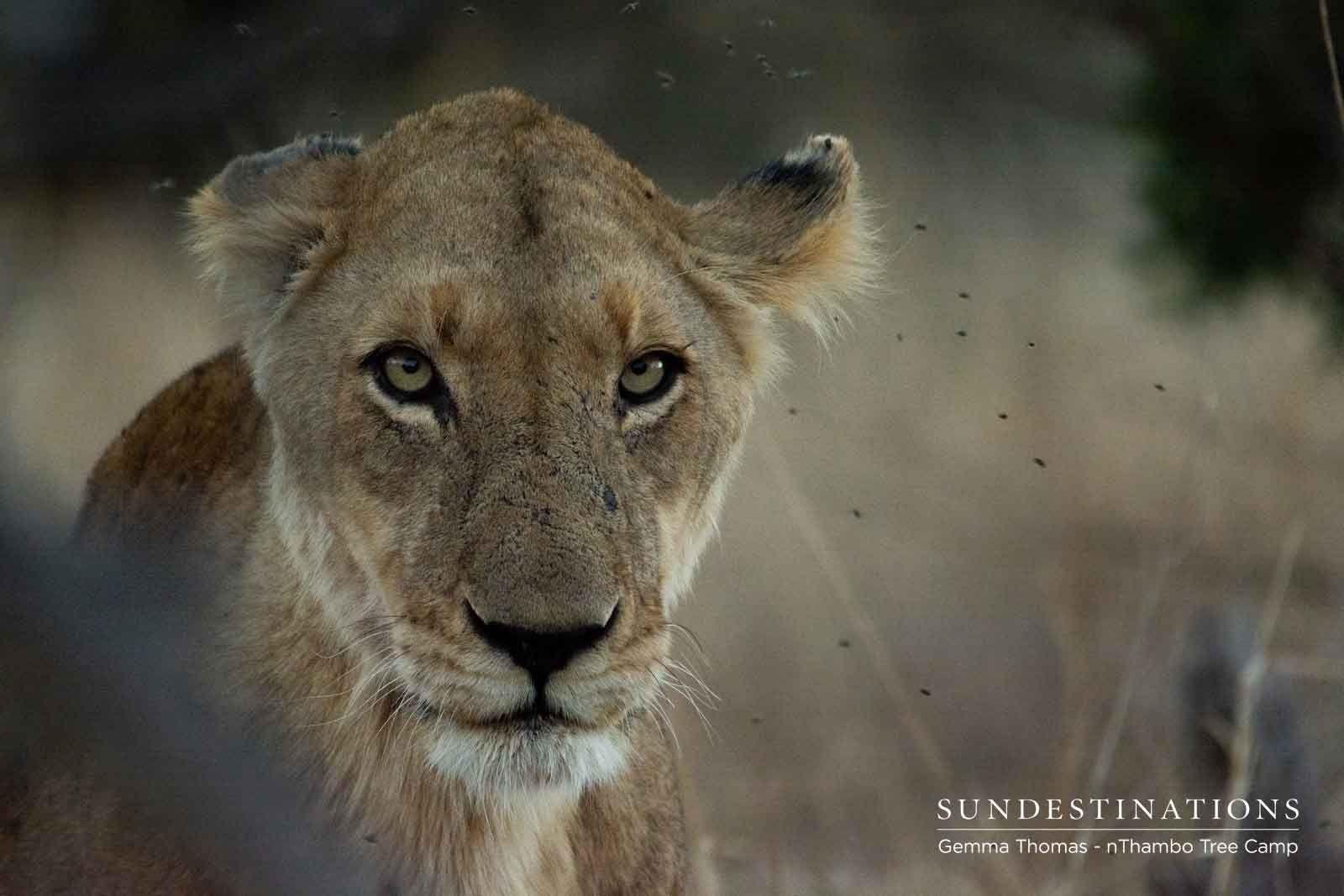 Lioness at nThambo Tree Camp