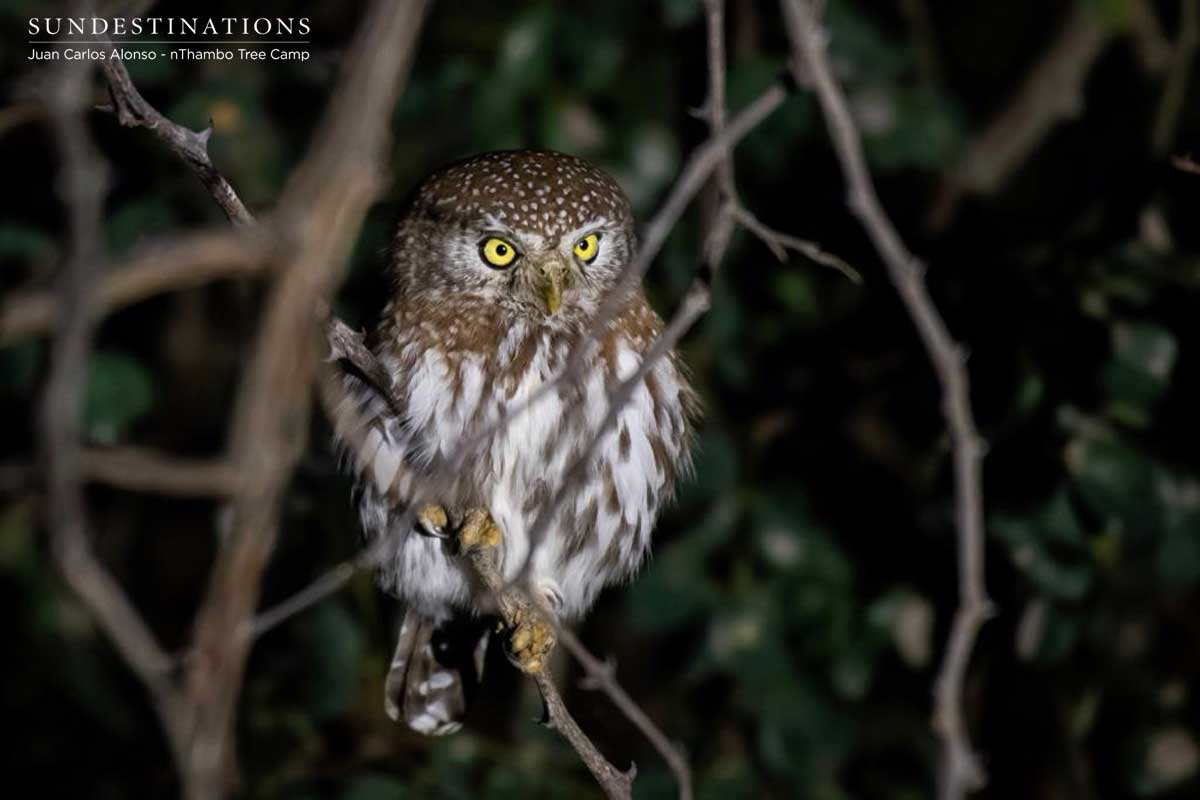 Pearl-spotted Owlet at nThambo