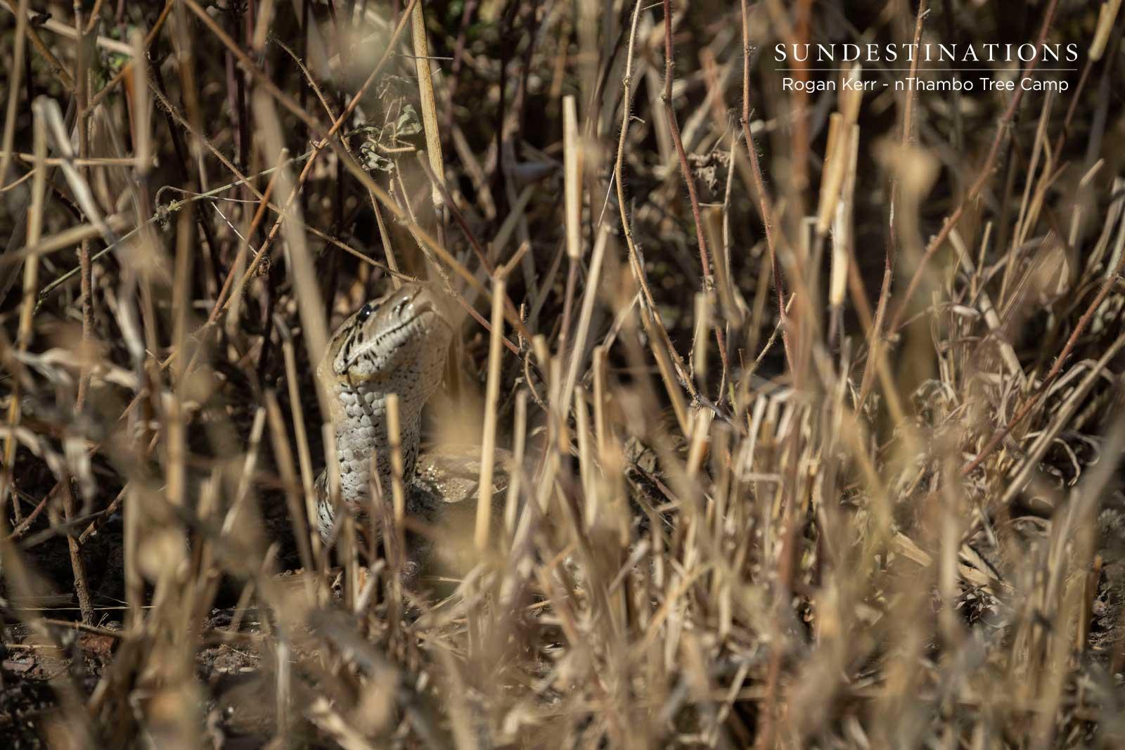 Rock Python at nThambo