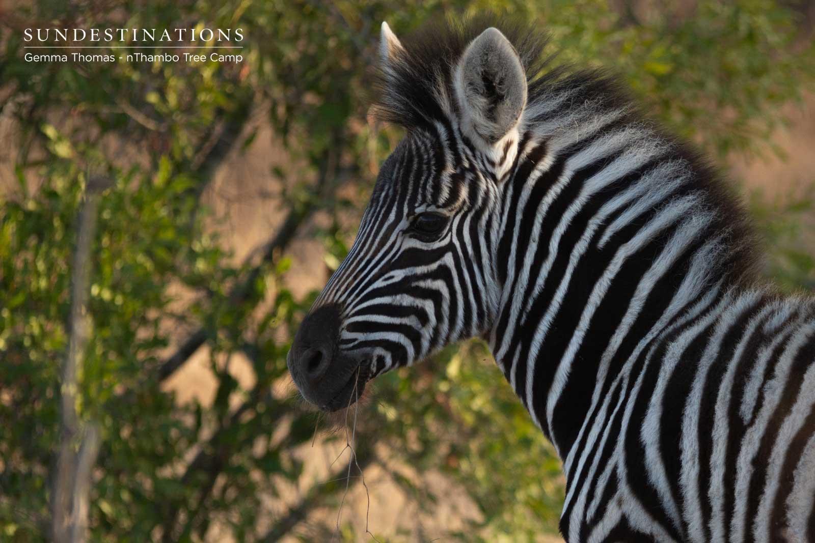 Zebra at nThambo