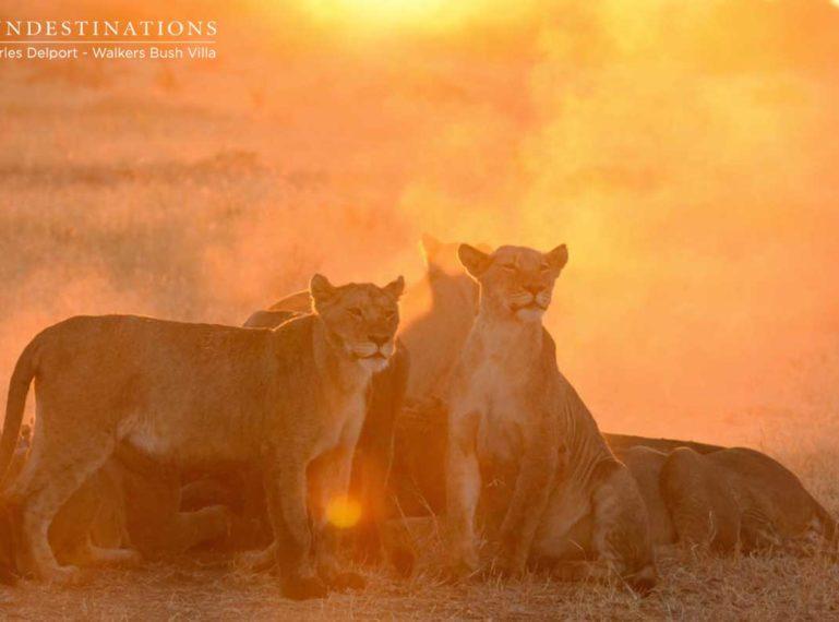 Walkers Bush Villa Guests Watch Lions Devour Hippo