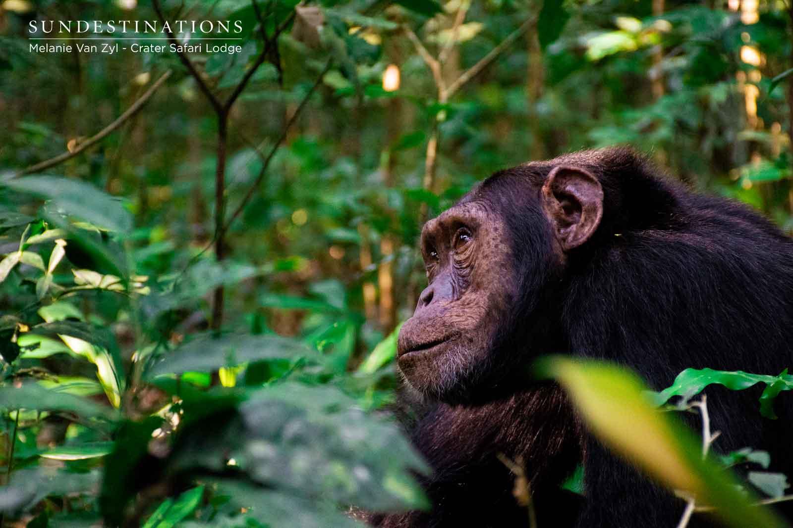 Chimpanzee at Crater Safari Lodge