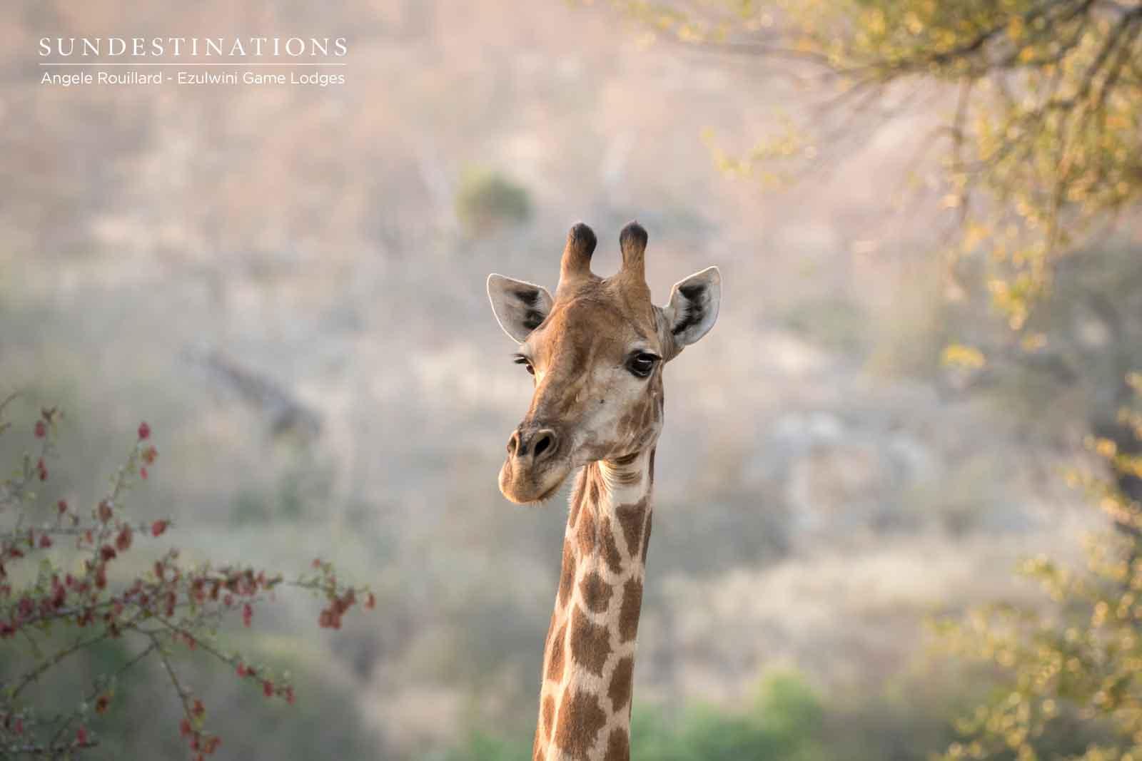 Giraffe on the Balule Landscape