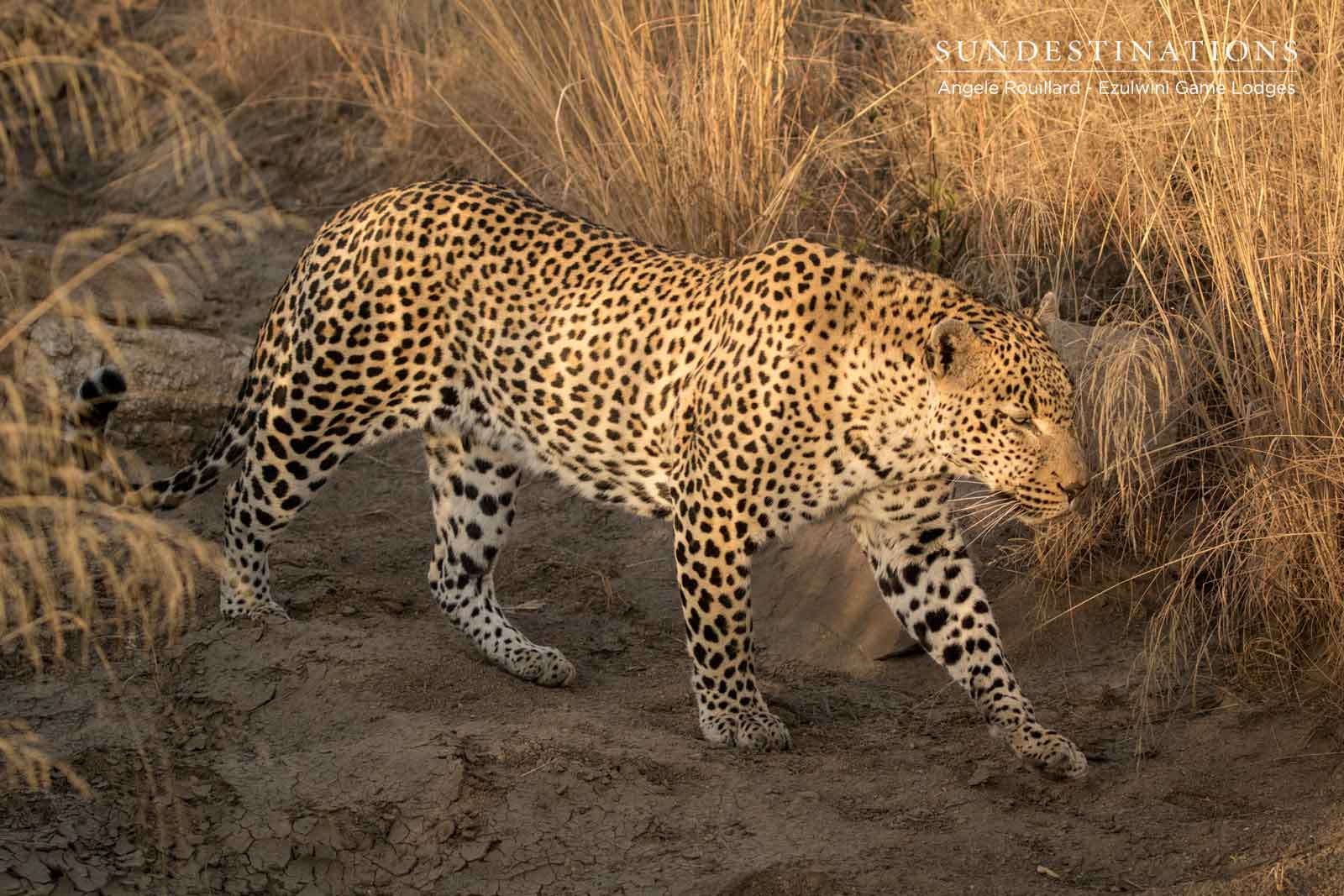 Recent Balule Big Cat Sightings from Enchanting Ezulwini