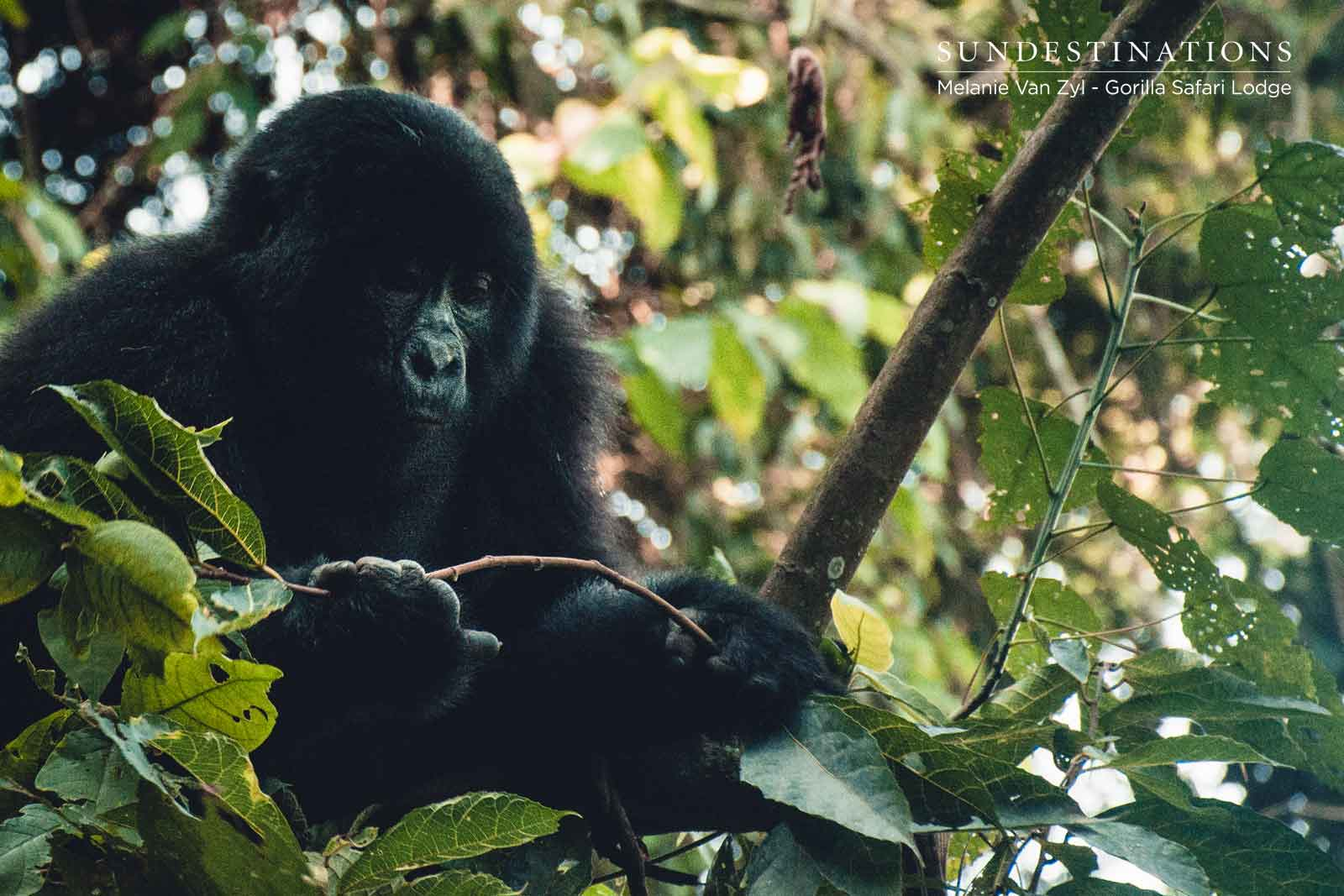 Gorilla conservation: beyond the boundaries of Bwindi Impenetrable National Park