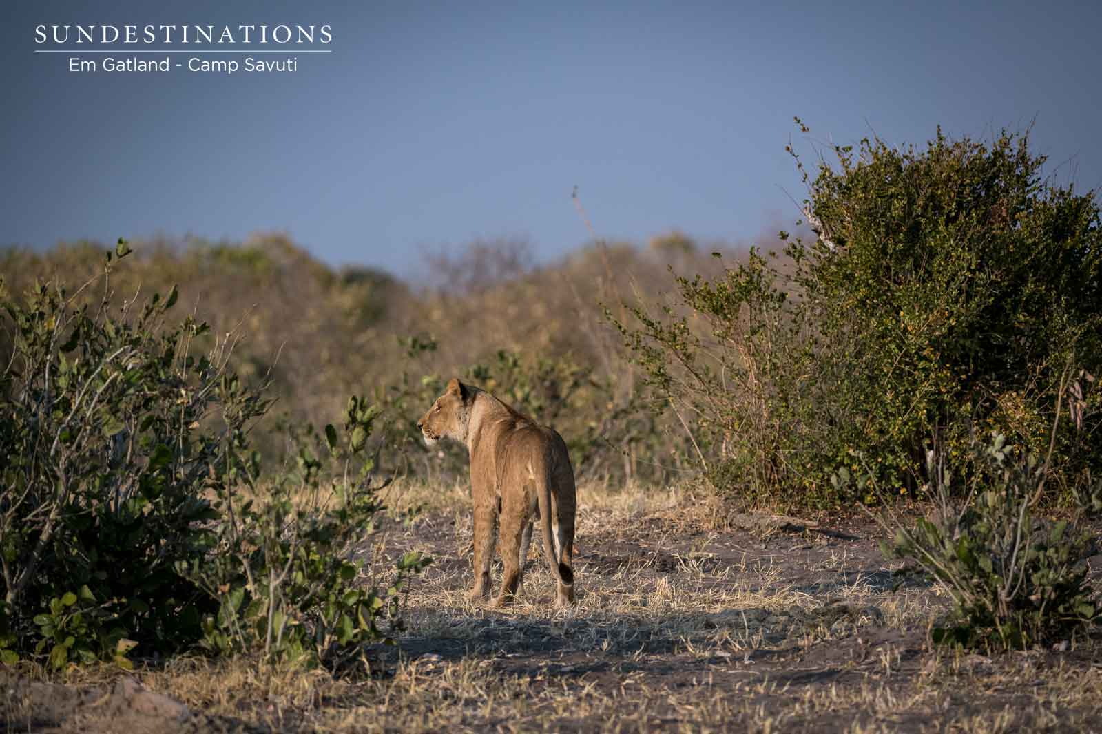 Lone Lioness from Marsh Pride