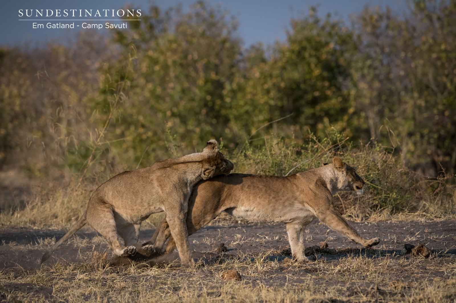 Marsh Pride of Lionesses in Savuti