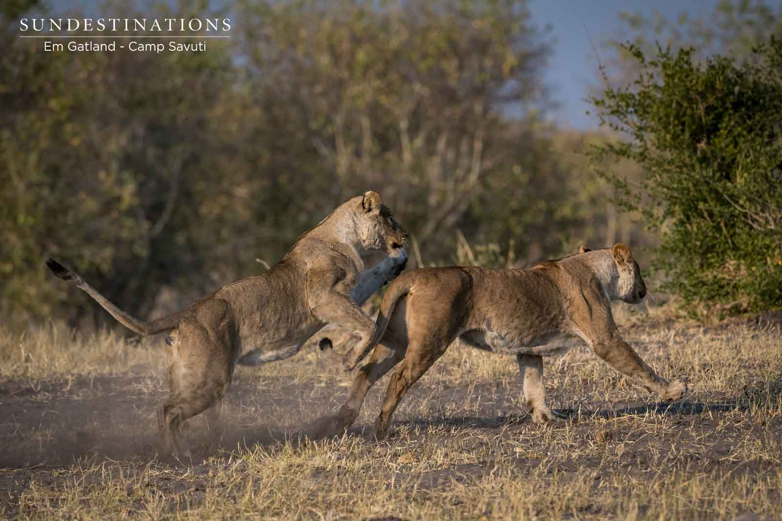 Lionesses in Camp Savuti