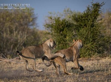 The Savuti region of Chobe National Park is a sought after pocket of wildlife paradise. This enchanting predator-rich region is well-documented for its fierce lion populations, one of which is the dominant Marsh Pride. Breakaway females and splintered groups from the powerful Marsh Pride are often spotted while out on drive with the team from […]