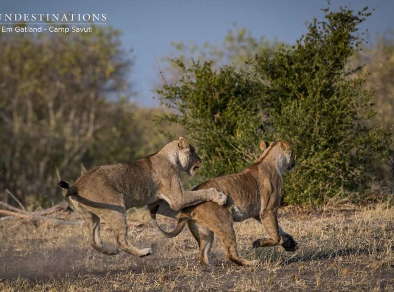 Camp Savuti : The Marsh Pride Lionesses Get Rough and Rowdy