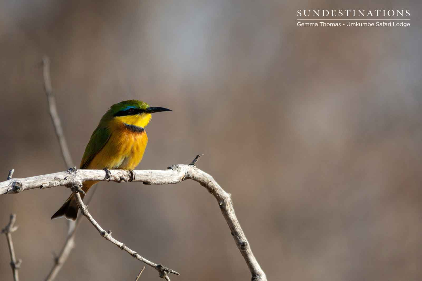 Umkumbe Little Bee-eater