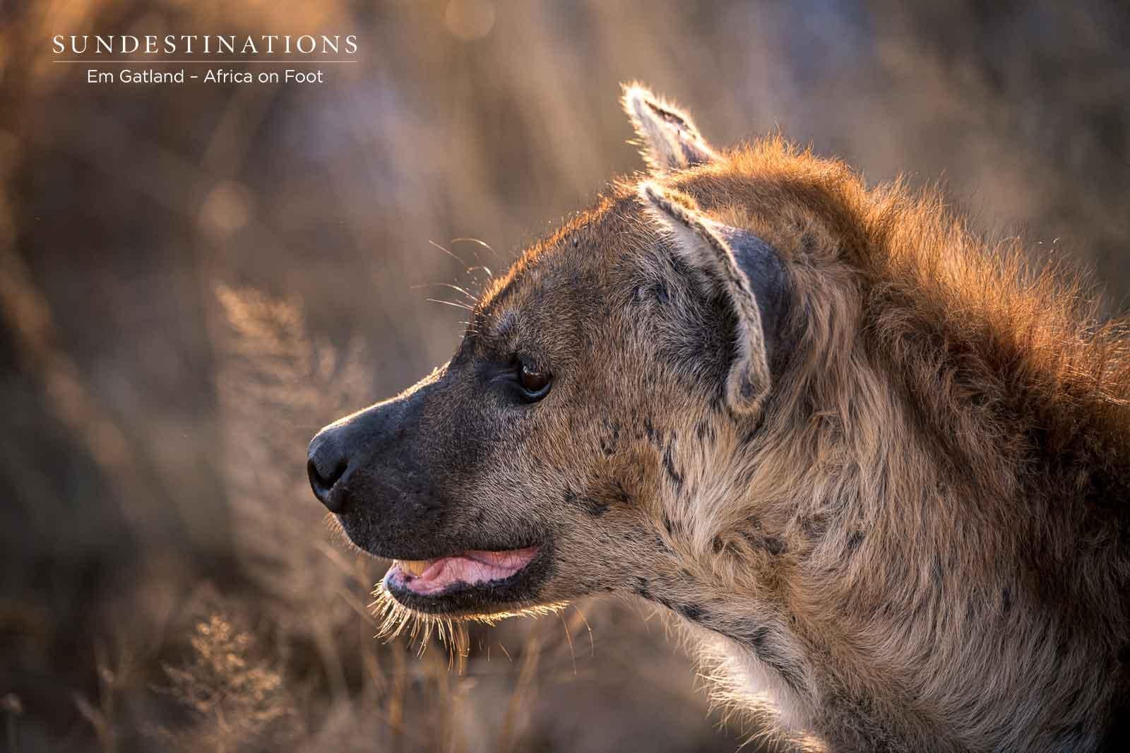 Hyena Africa on Foot