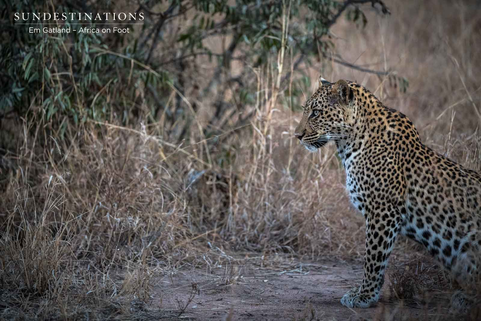 Leopards at Africa on Foot