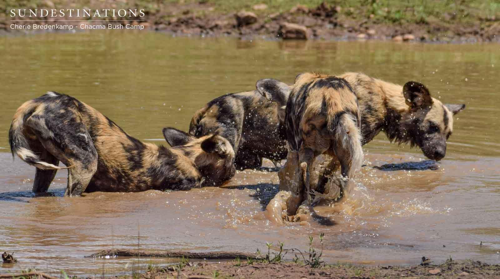 Chacma Bush Camp Wild Dogs