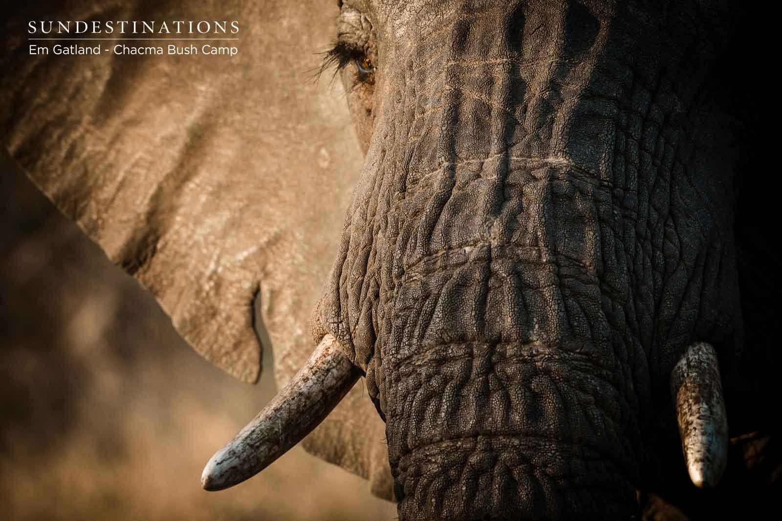 Chacma Elephant Maseke