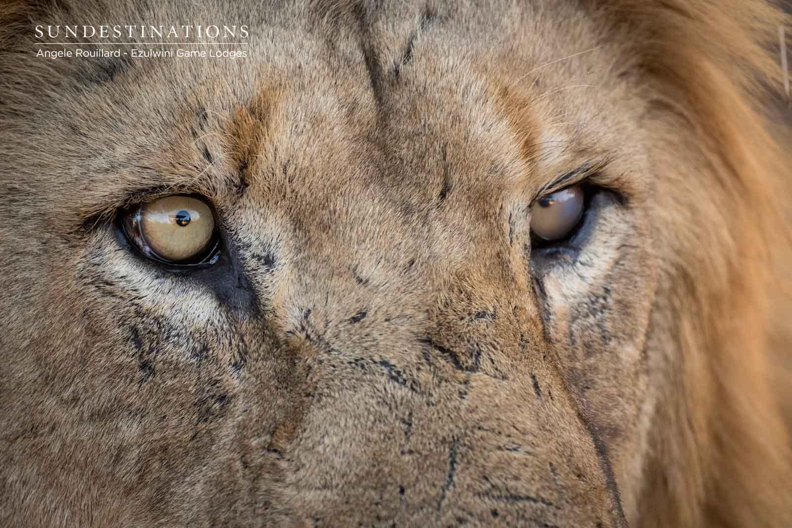 Lions at Ezulwini