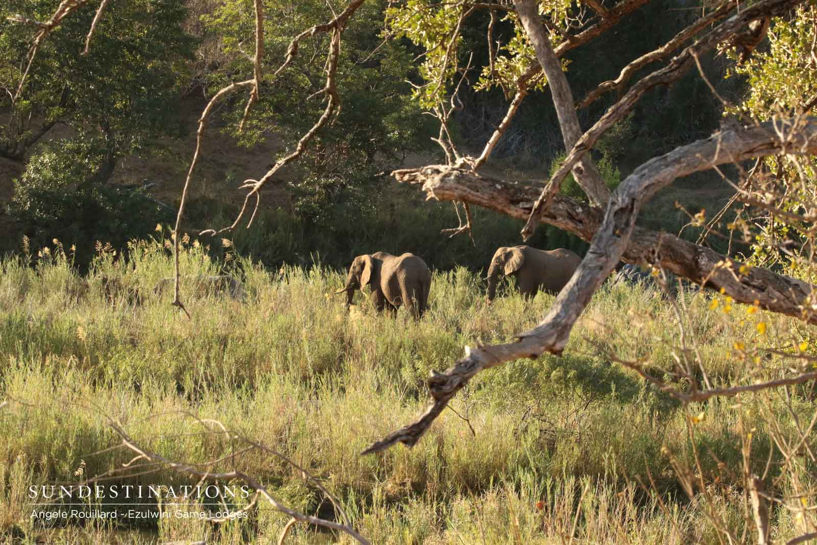 Elephants at Ezulwini