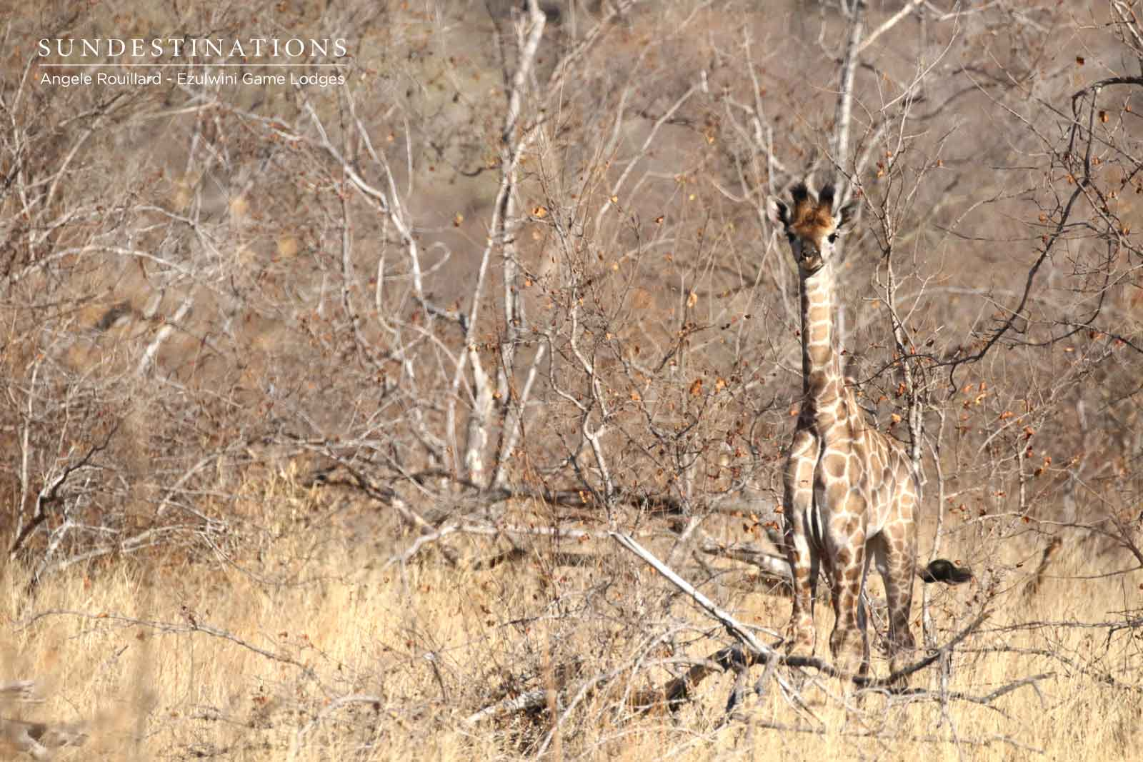 Giraffe Calf at Ezulwini