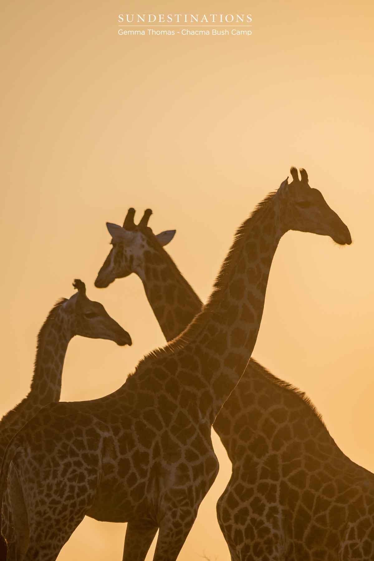 Giraffe at Chacma