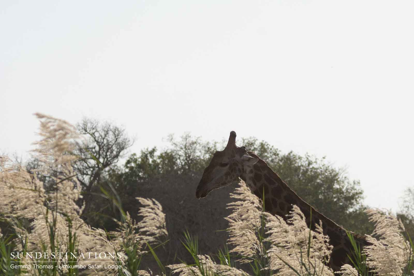 Giraffe at Umkumbe Safari Lodge