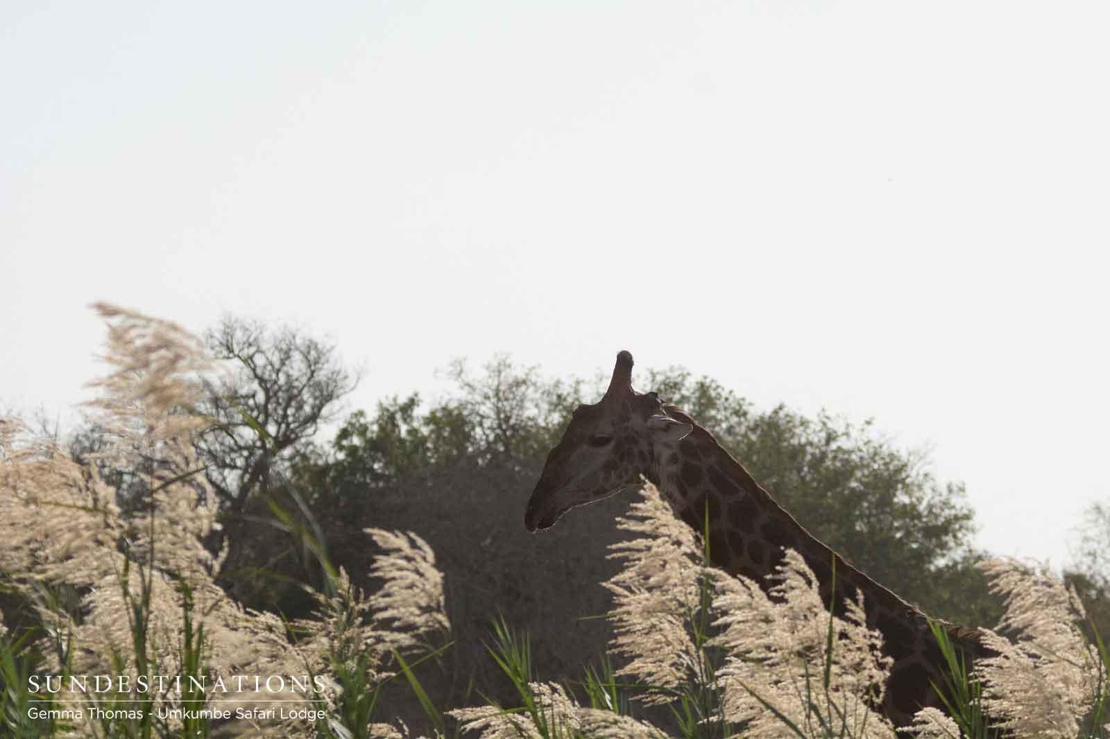 Giraffe at Umkumbe Safari Lodge