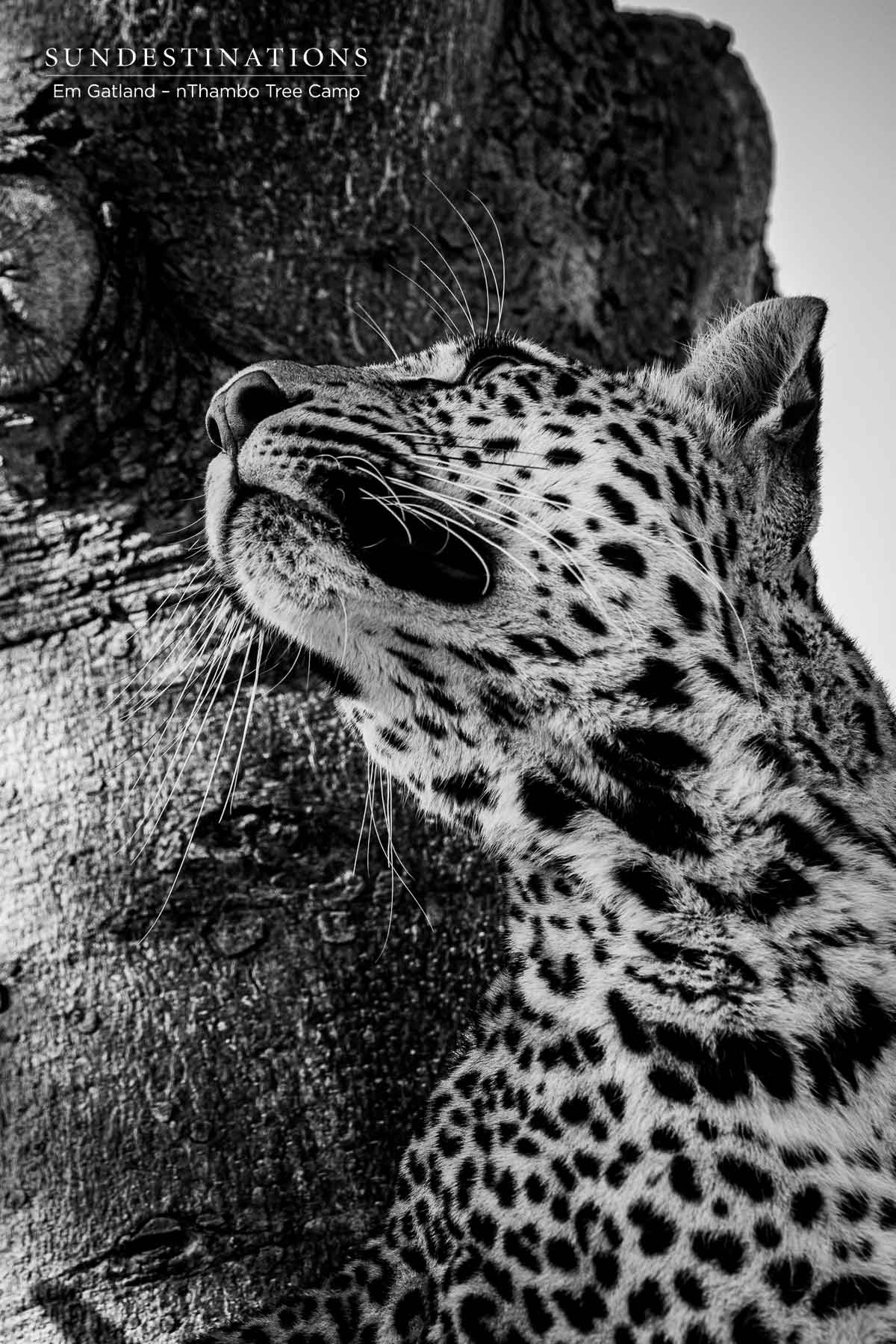 Leopards at nThambo Tree Camp