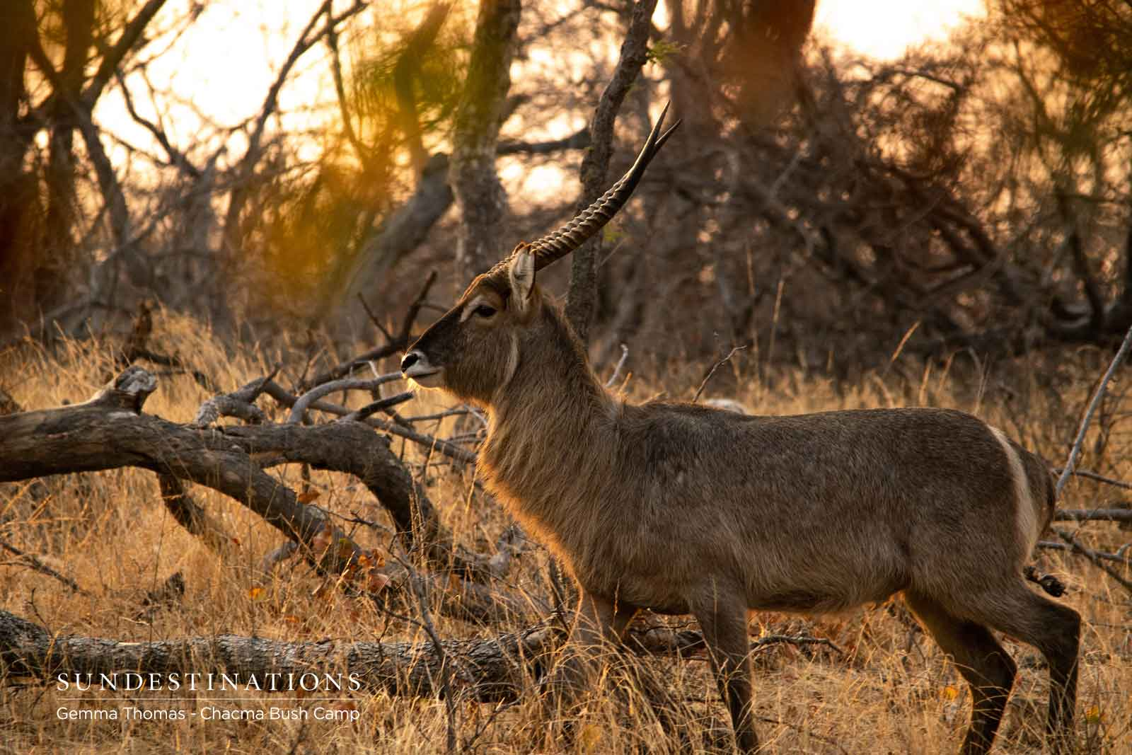 Waterbuck at Chacma