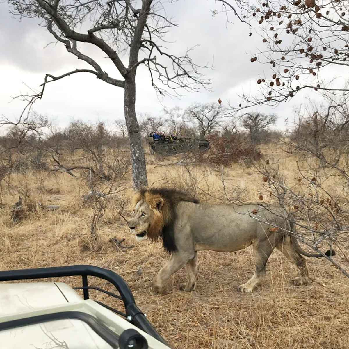 Male Lions in the Timbavati