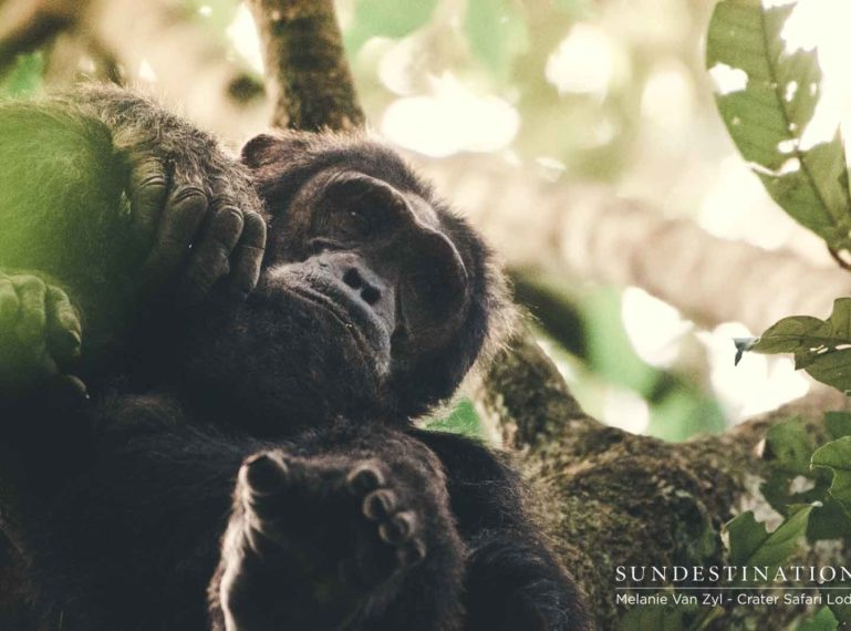Everything you need to know about Chimpanzee Trekking in Uganda