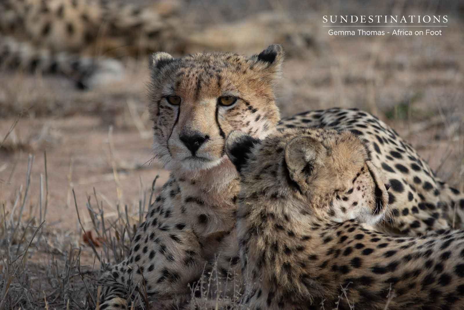 Cheetah Coalition in Klaserie