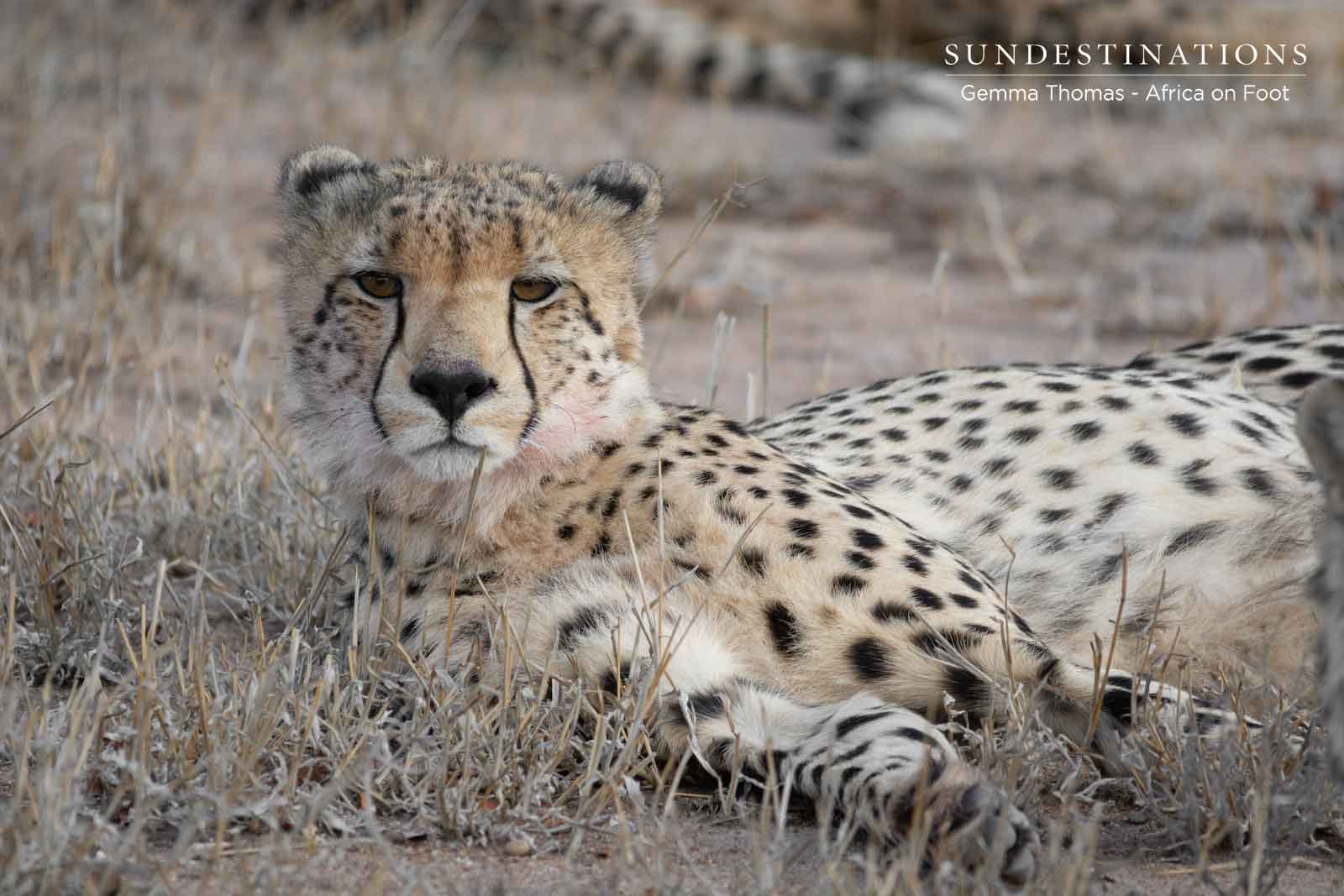 Africa on Foot - Cheetah Lying Down