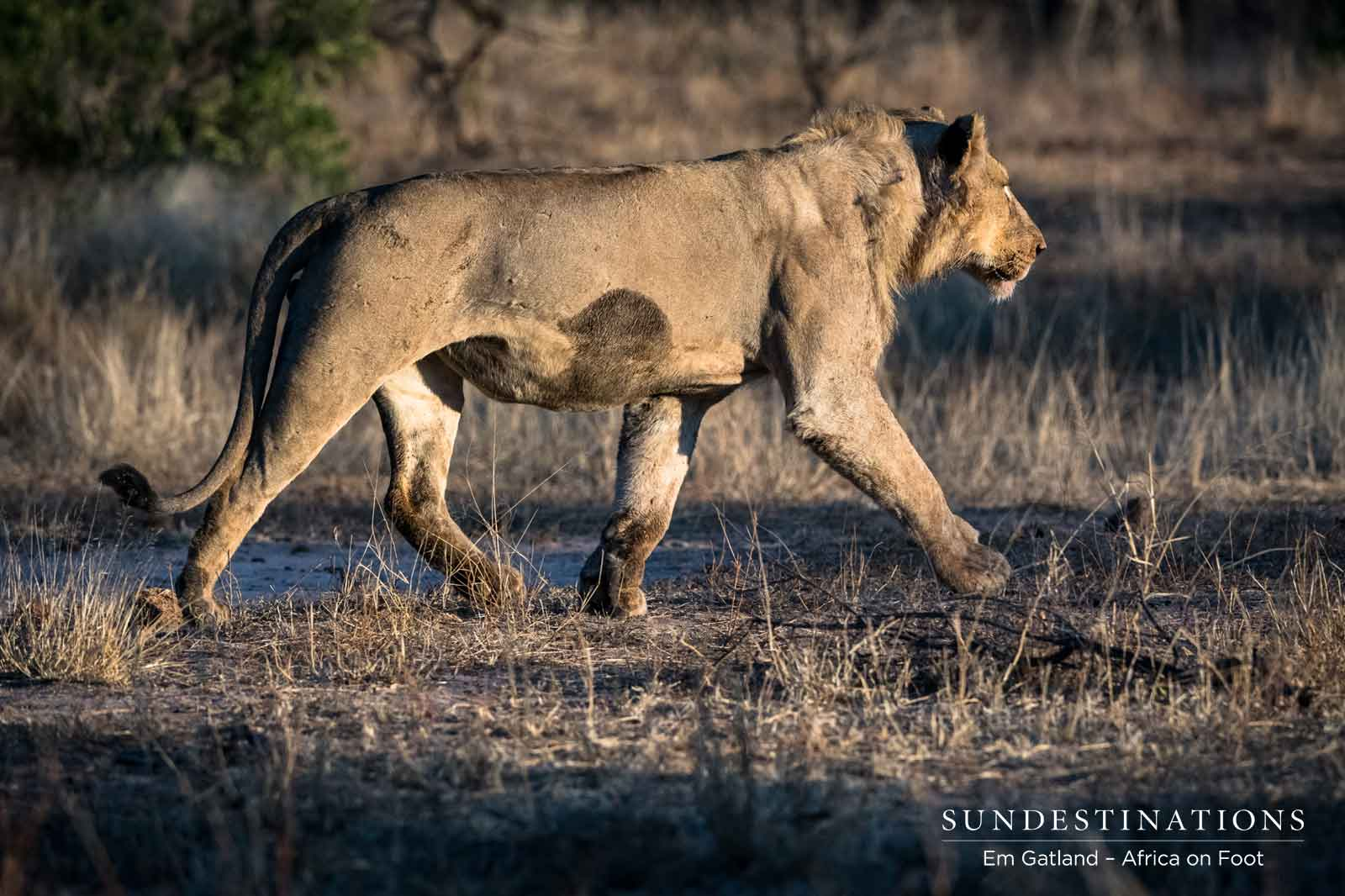 Lioness on the Move in Klaserie