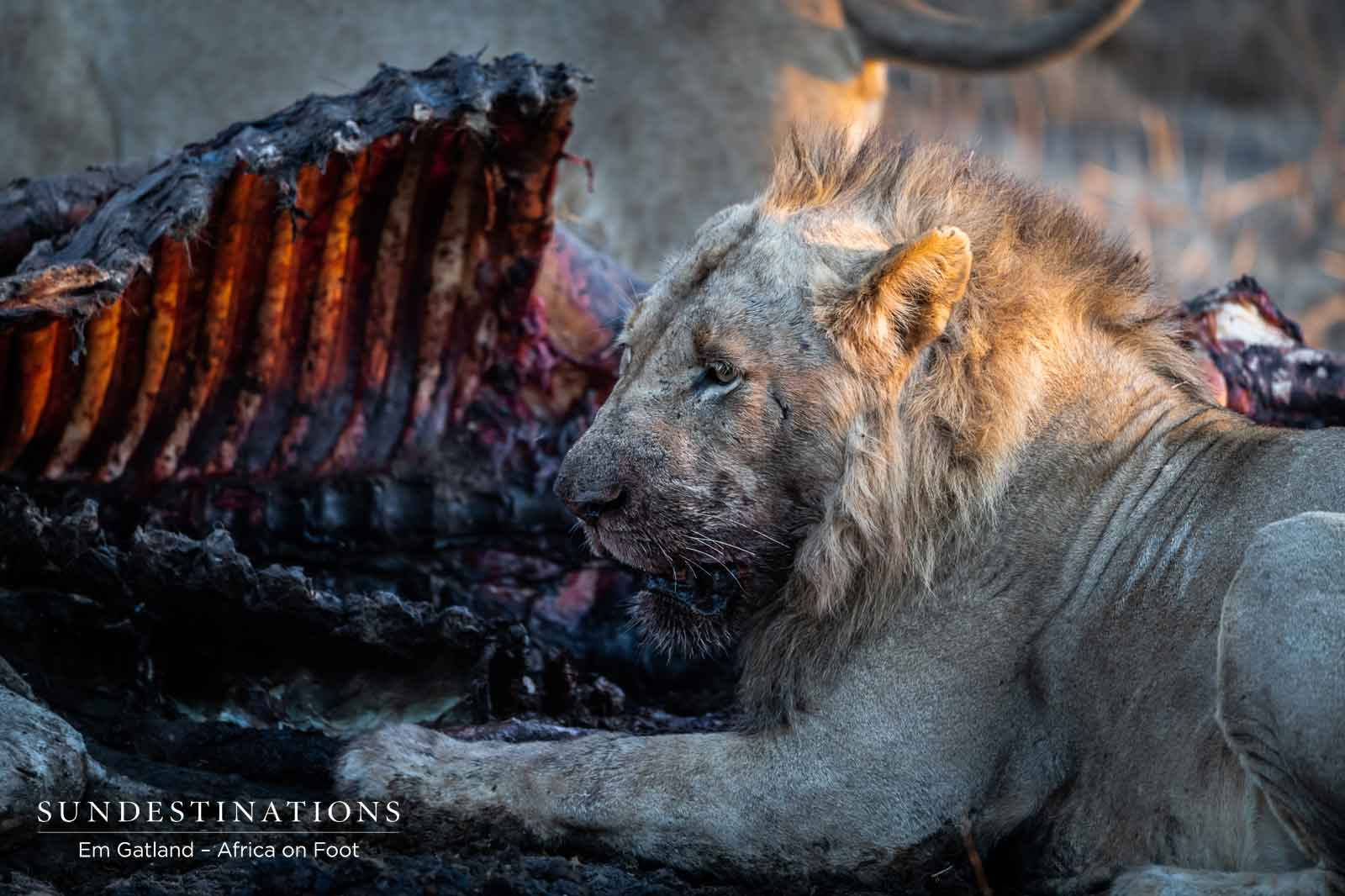 Sub-adult Lion Devouring Ribs