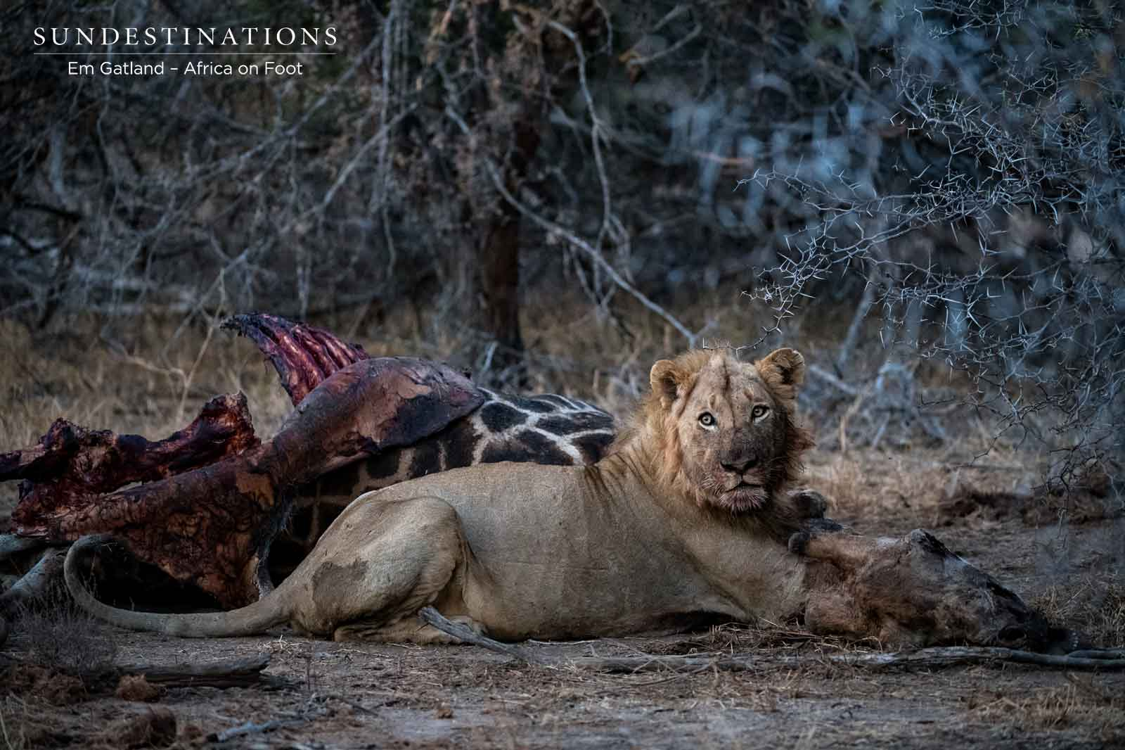 Lion Pride on a Giraffe Kill