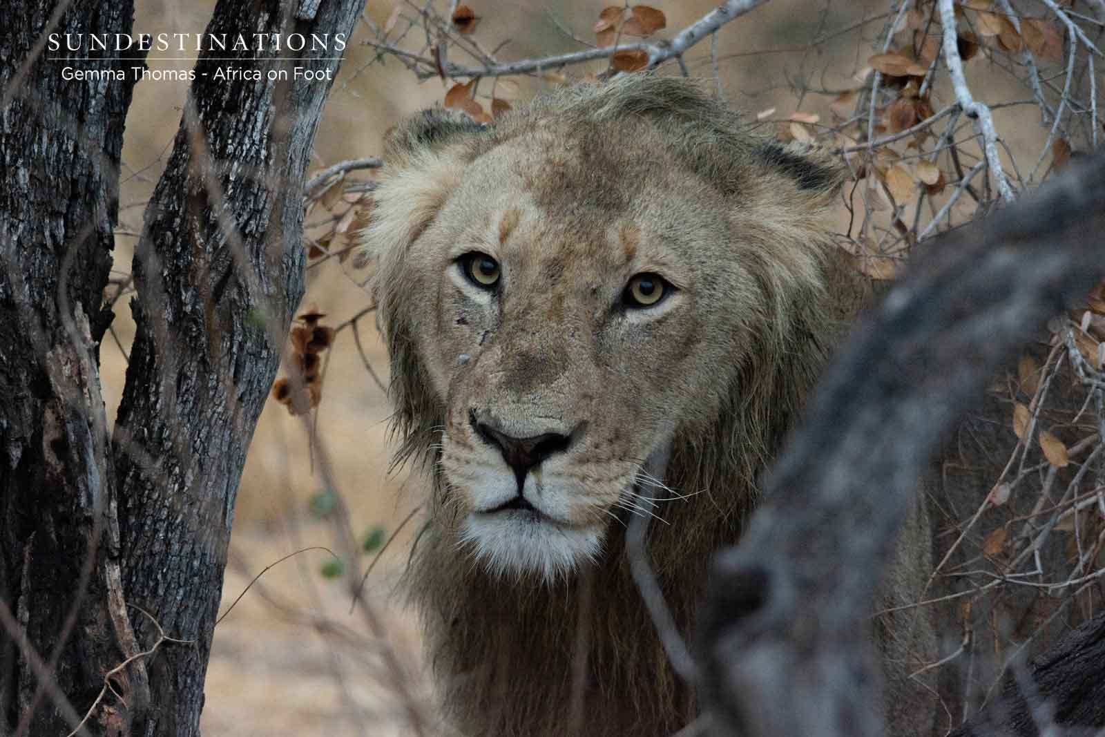 Male Lion at Africa on Foot