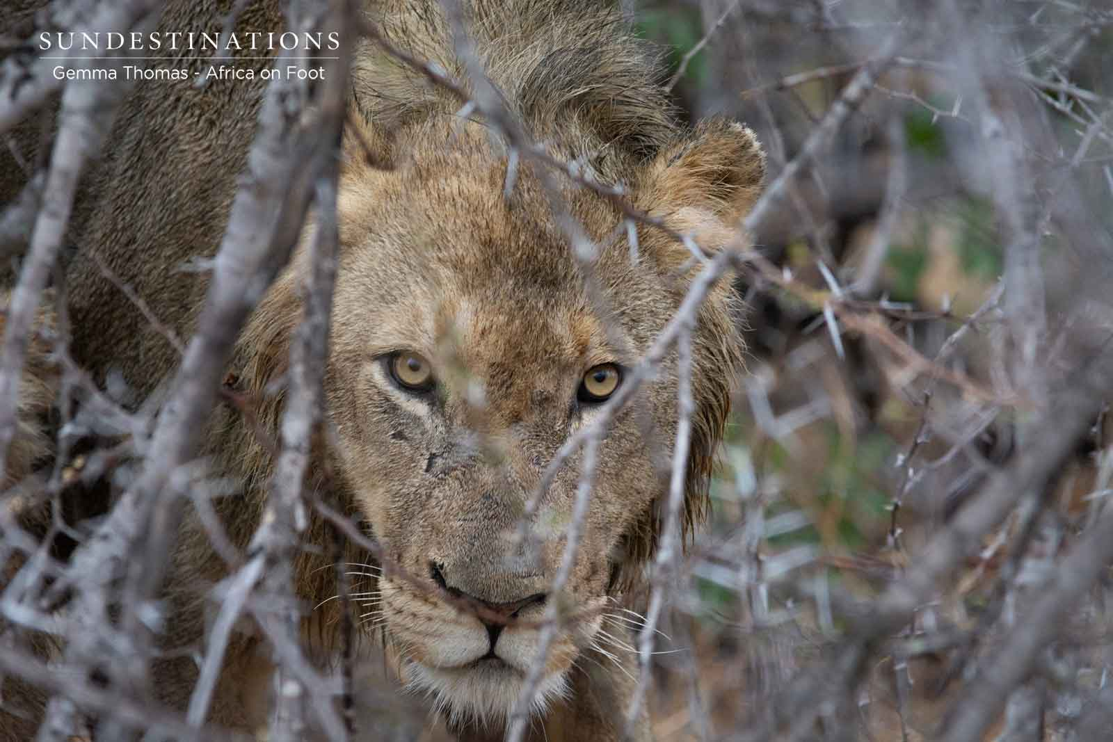 Pride of 6 Lions in Klaserie