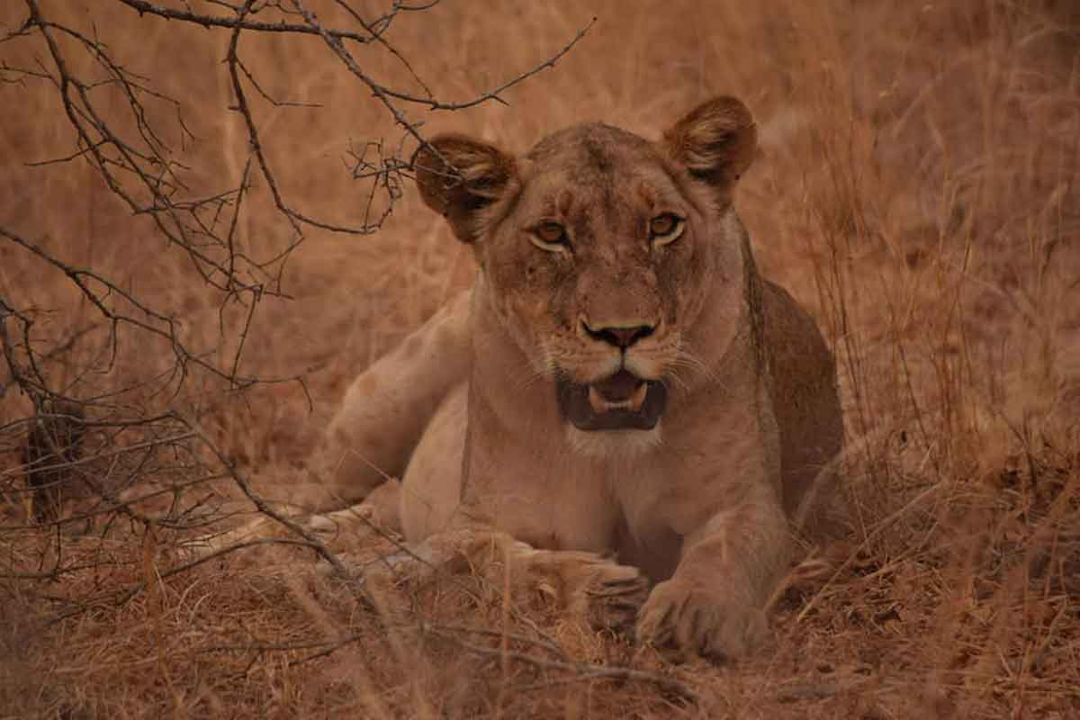 #GuestSafariReview : Wild Dogs and Lions at Ezulwini !