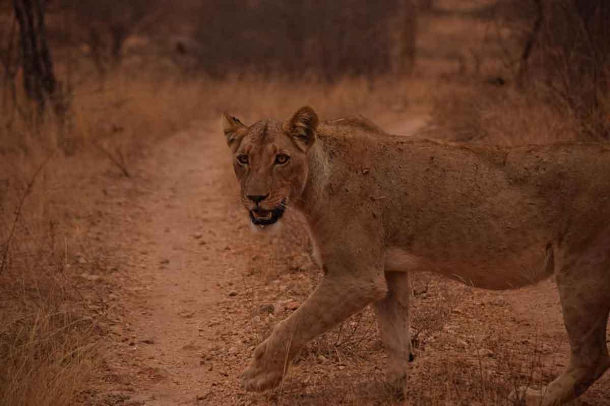 Lioness at Ezulwini