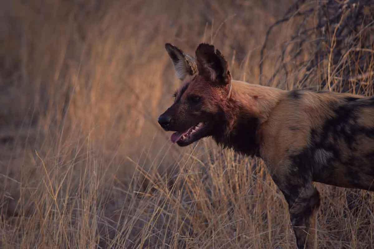 Wild Dogs of Ezulwini