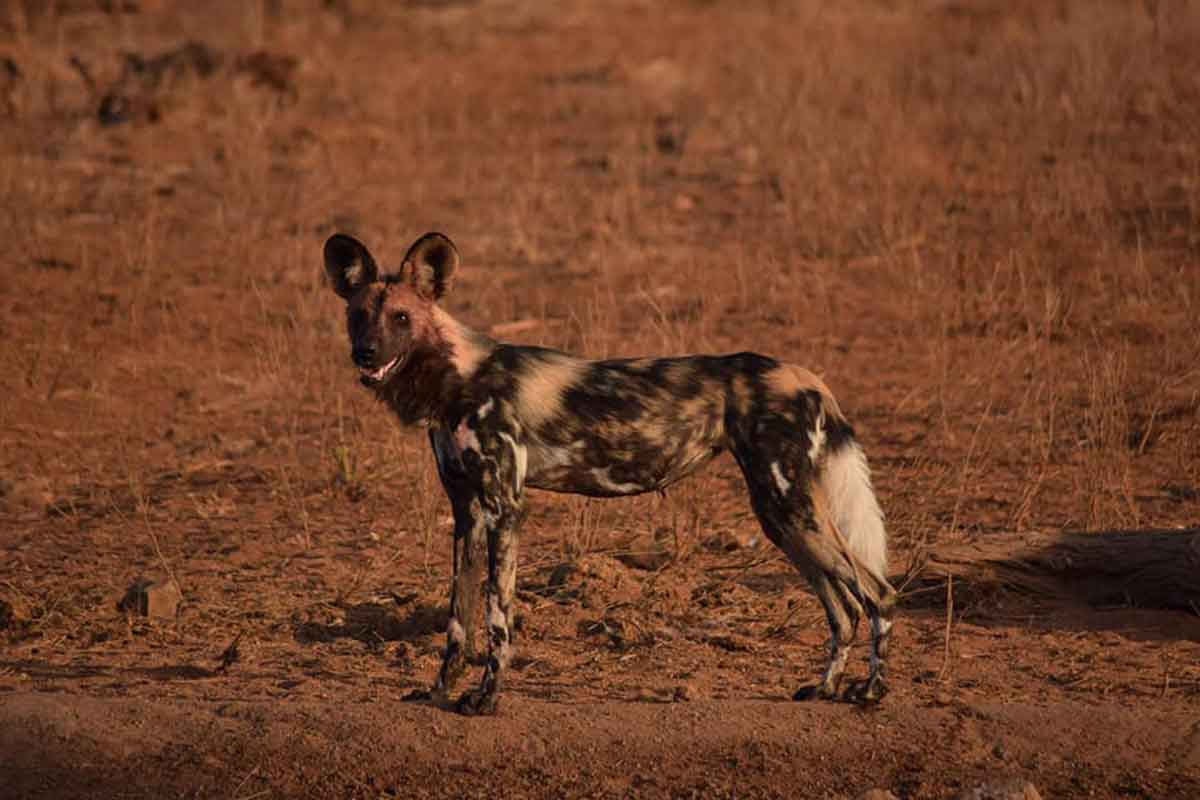 Wild Dogs in Kruger