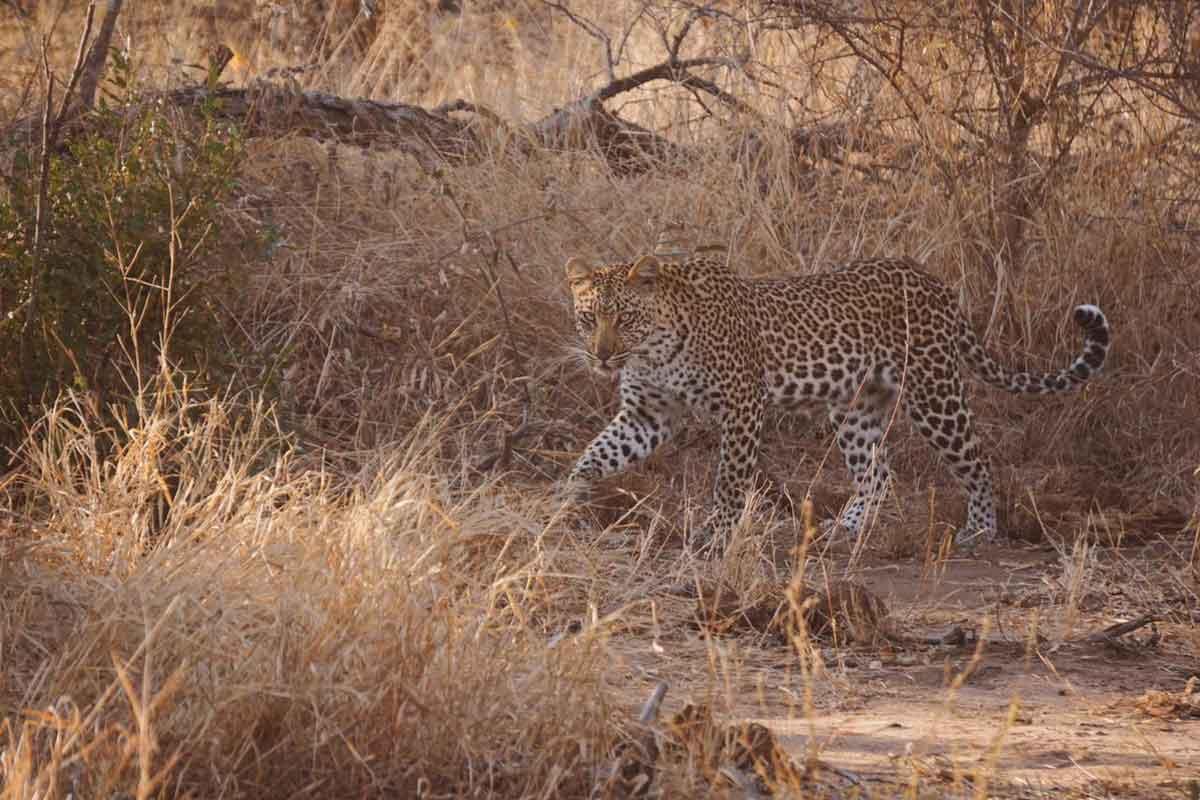 Leopard at nThambo