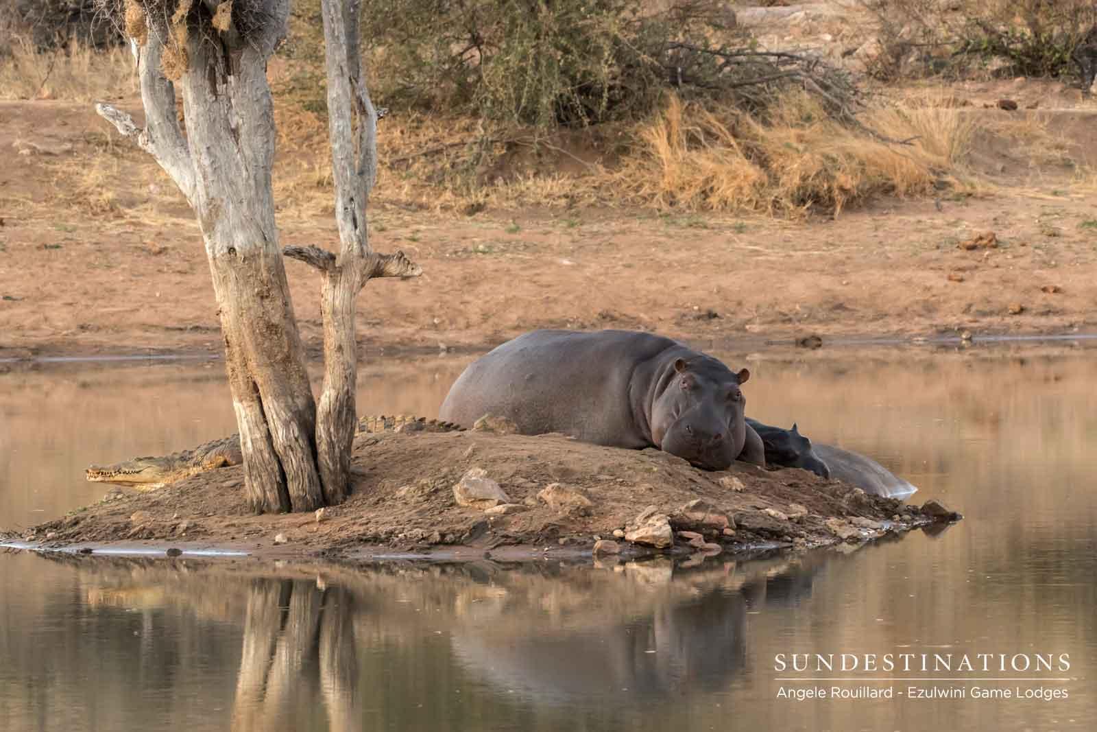 Hippos at Ezulwini
