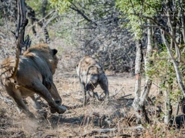 We've experienced a bit of a lull in the Week in Pictures, but certainly not a lull in game viewing. Across the board its been a continuous cycle of predator sightings, unpredicted take downs and rare moments shared with the residents of the Lowveld. Our guides have been busy in the field, leading guests into […]