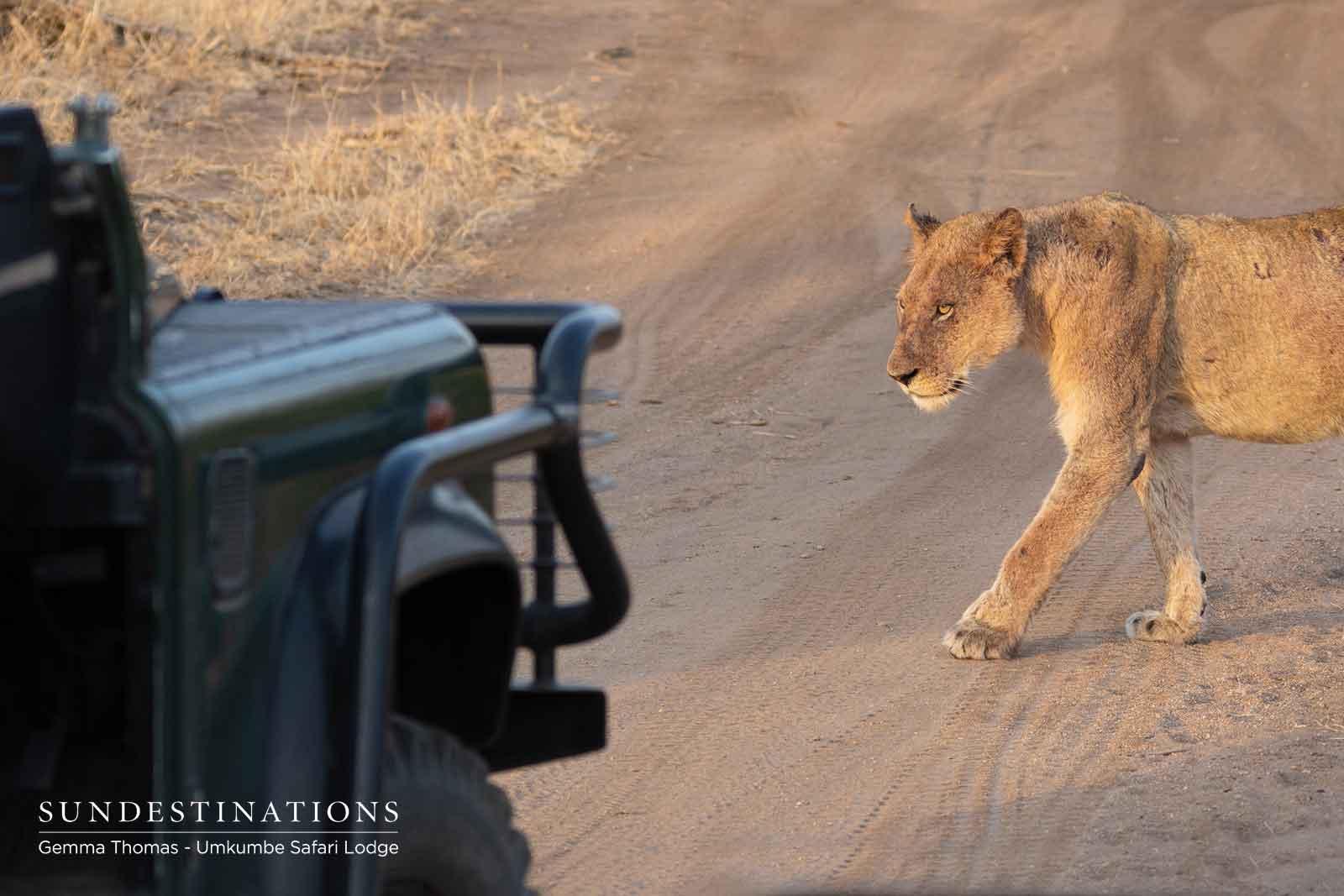 Lions at Umkumbe