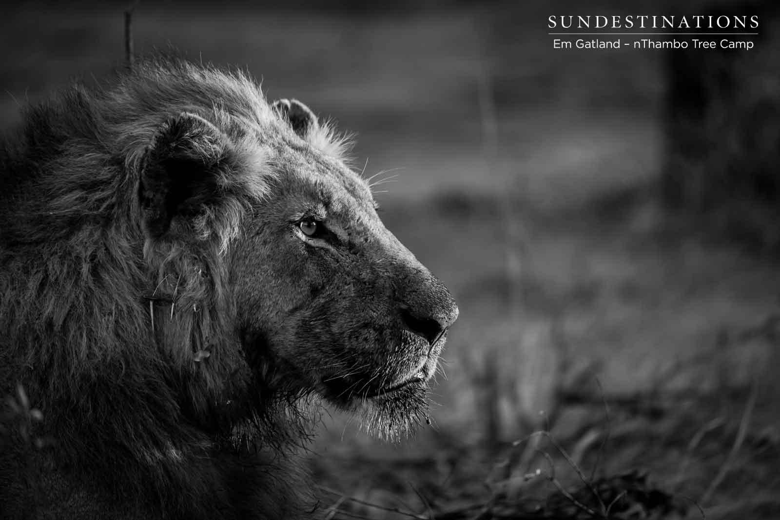 nThambo Male Lion