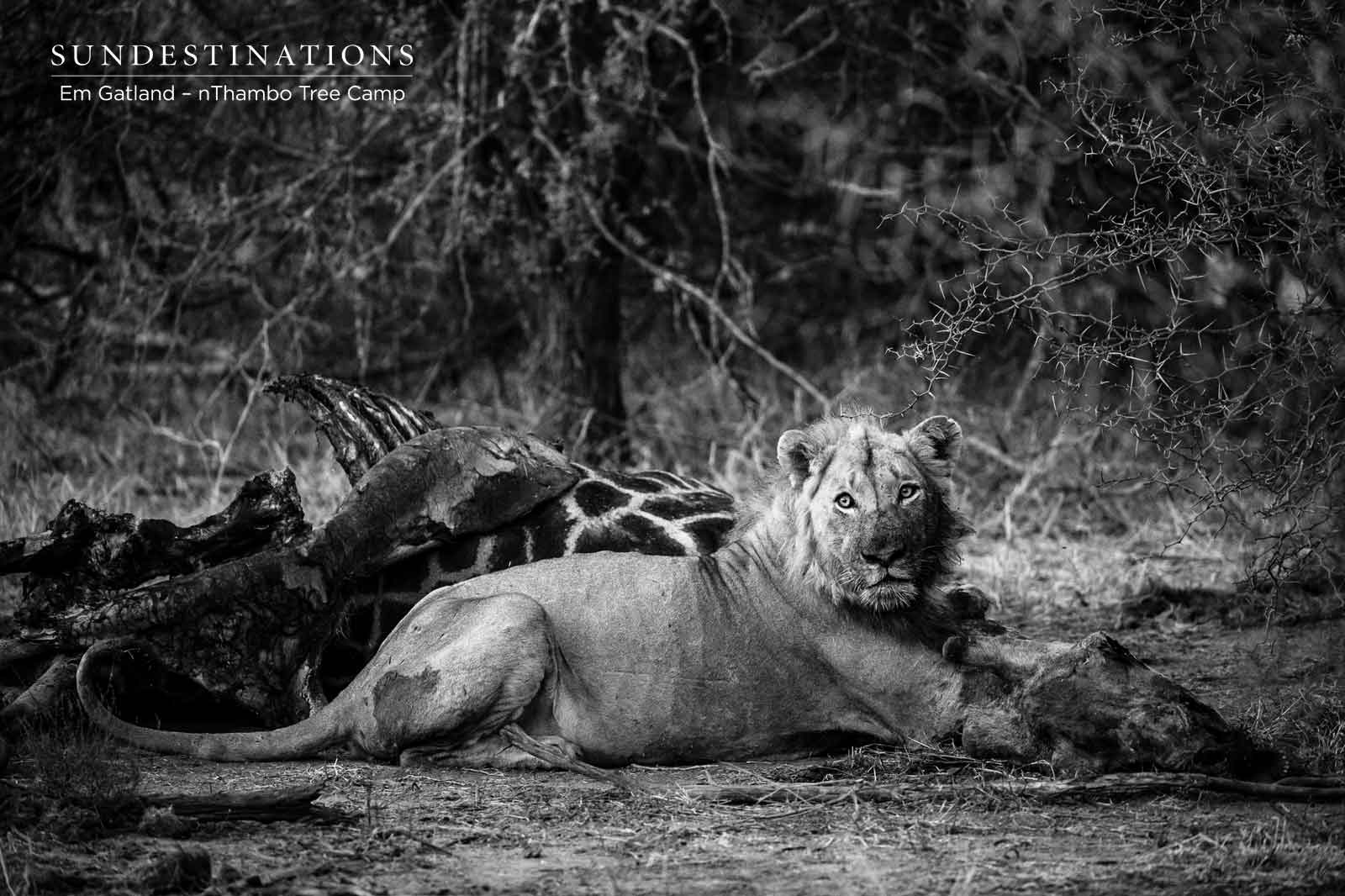nThambo Big Cat Kill