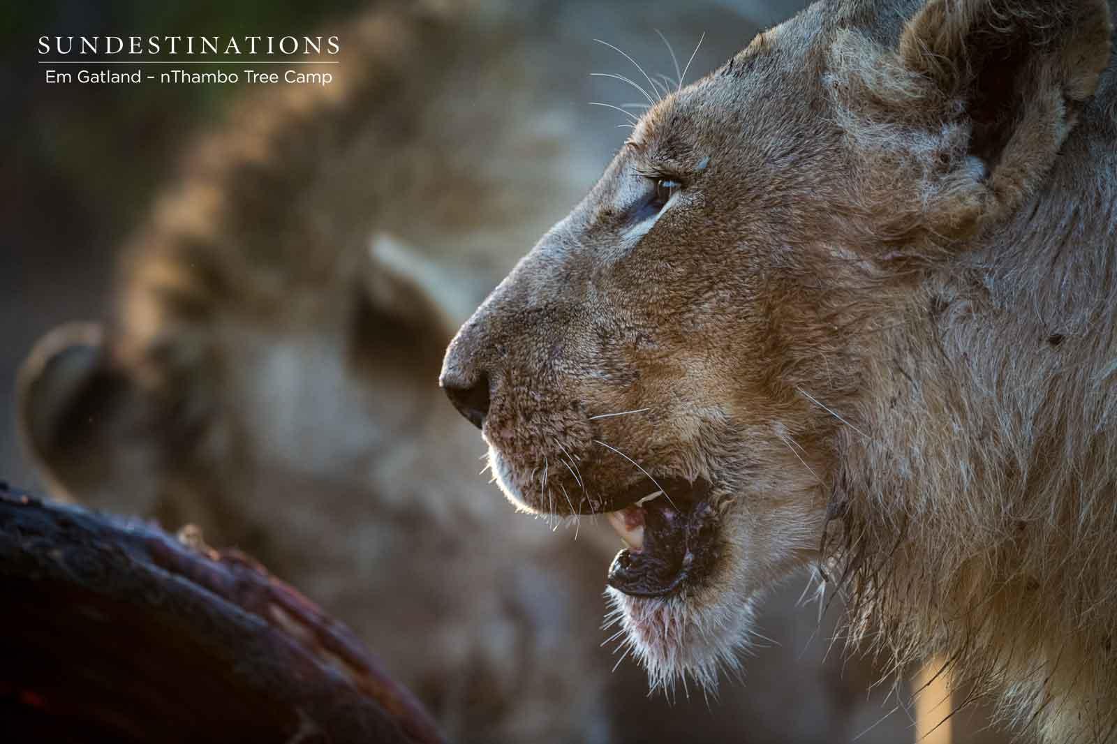 nThambo Lion Prides
