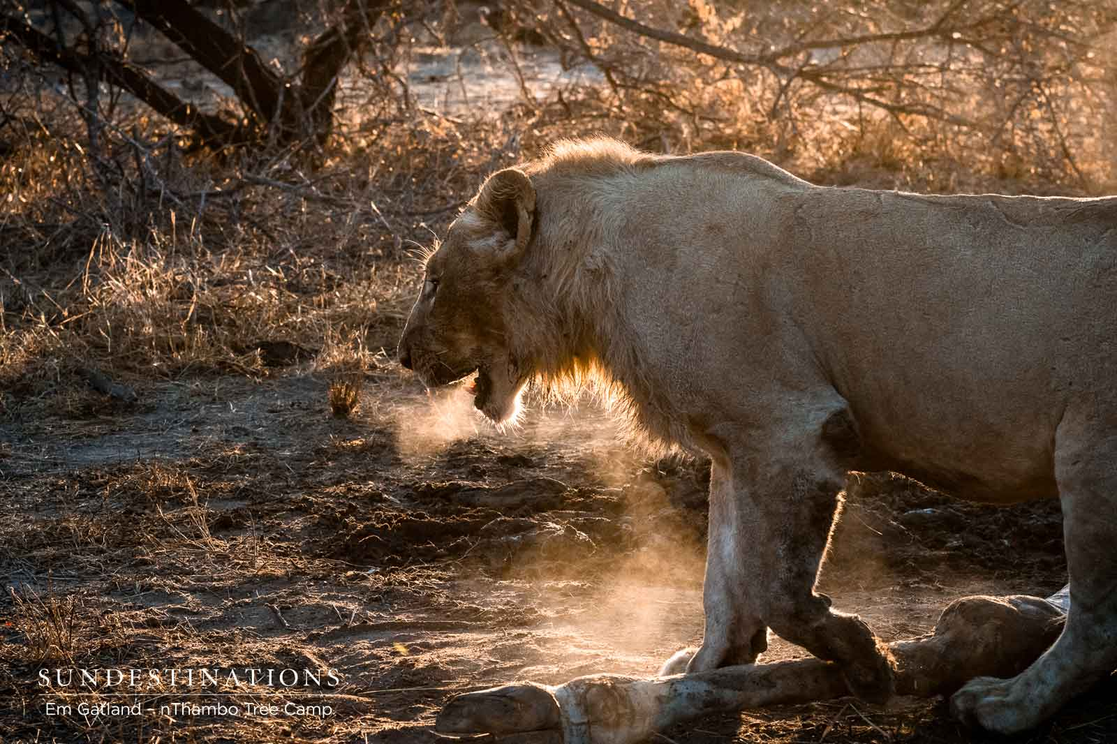 Klaserie Lions on a Giraffe Kill : A Portfolio of Images from Em Gatland